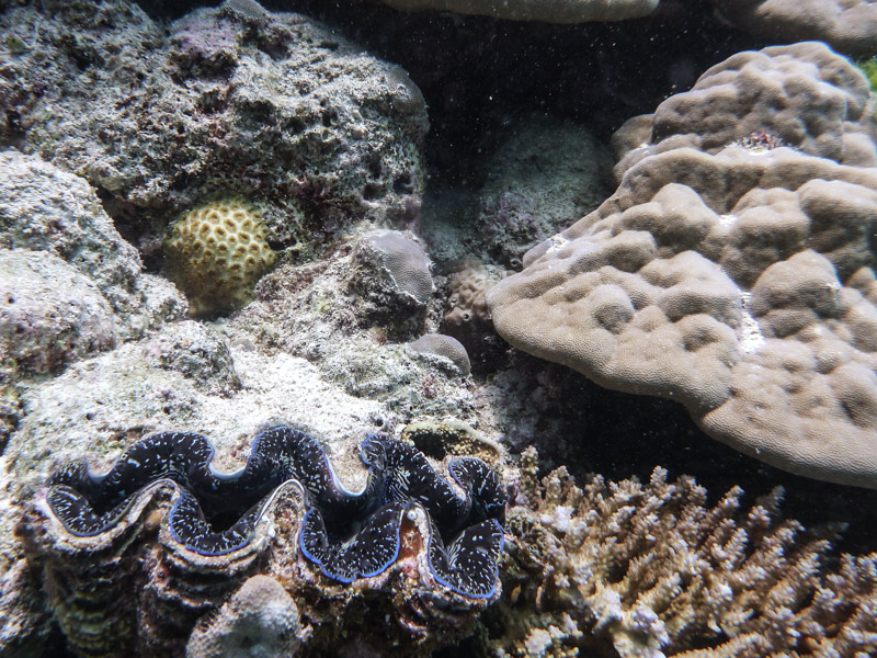 Another Giant Clam!