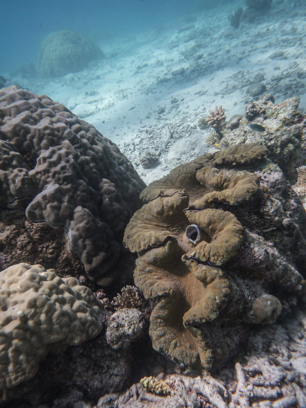 Giant Clam Sighting!