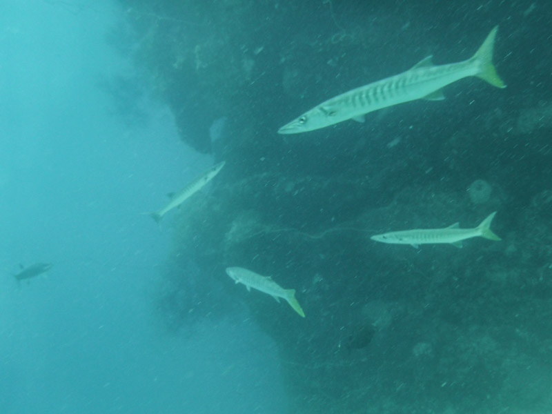 Large Barracuda at the Bommie